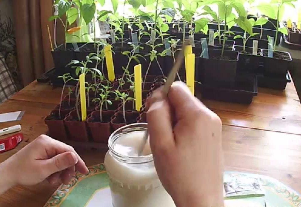 дрожжевая подкормка для рассады помидор (рецепт и описание)