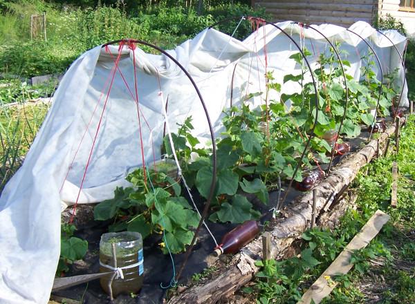 Выращивание помидоров под пленкой 95