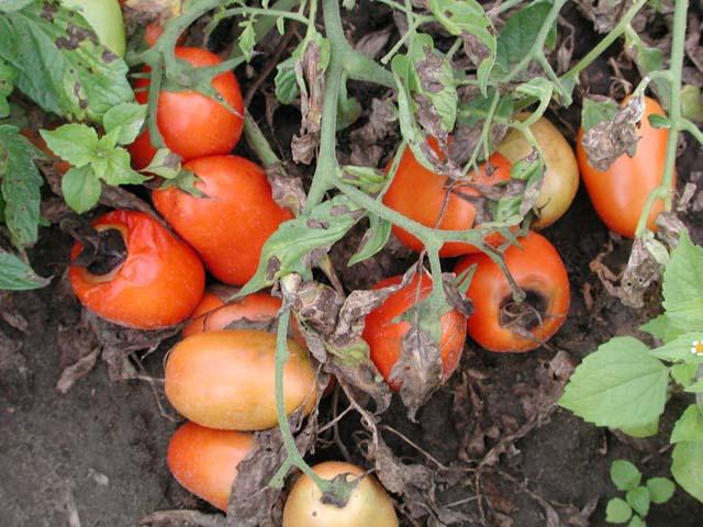 Вершинная гниль томатов