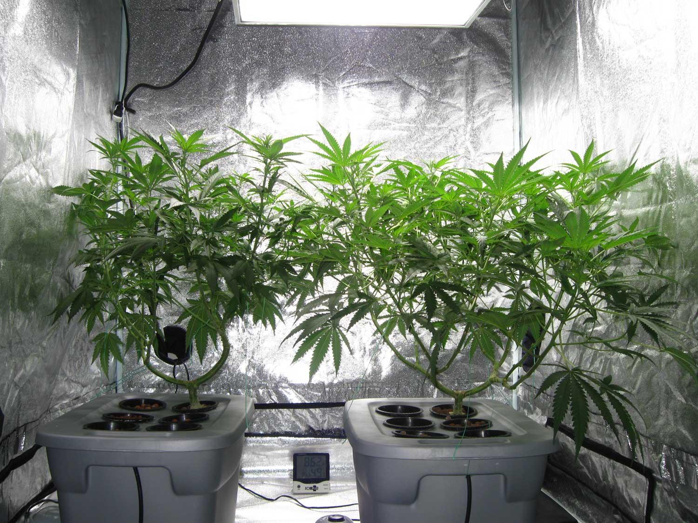 Коноплю когда выращивать из клубники семян выращивание гидропоника