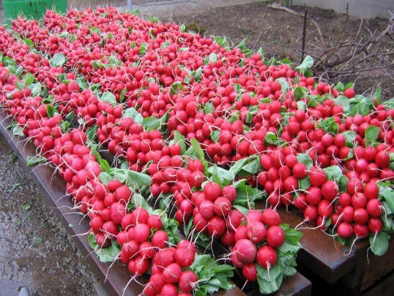 Выращивание на продажу редис