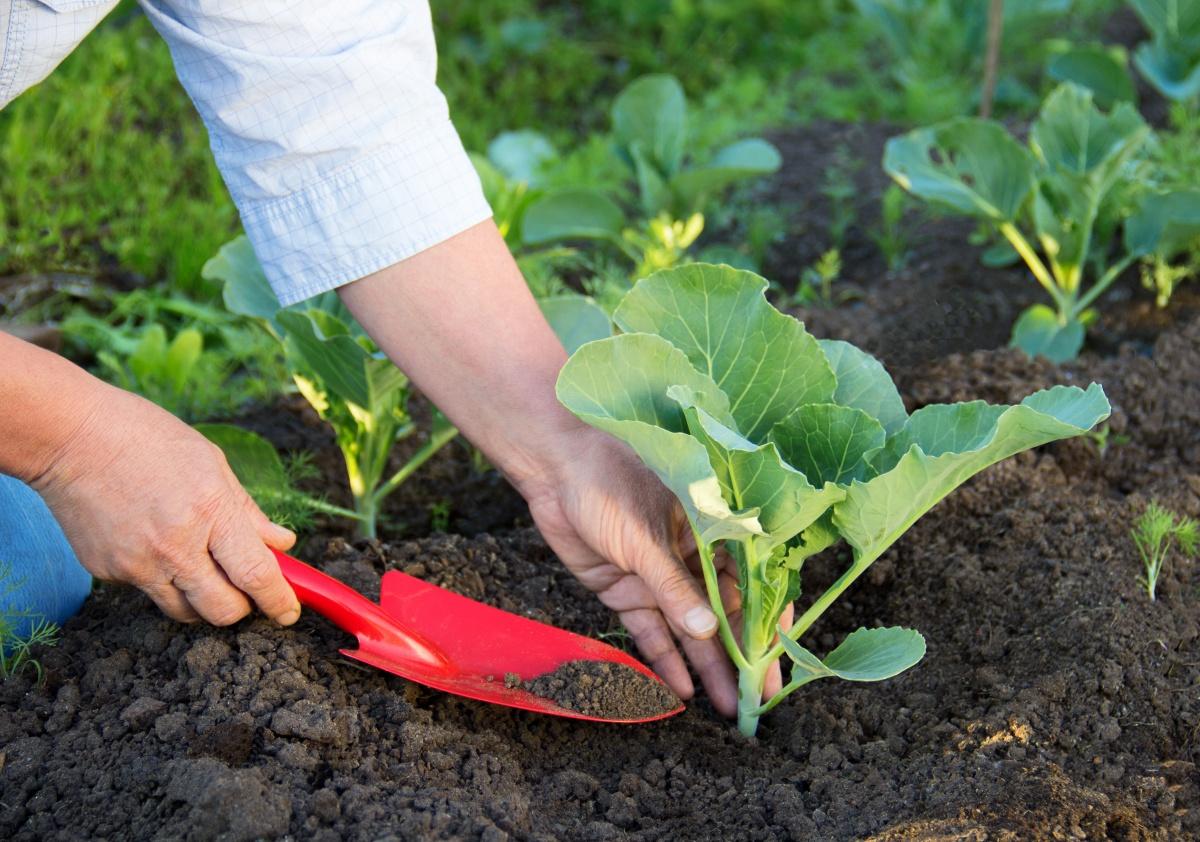 Как сажать капусту Правильно сажаем капусту на своей грядке Сад 89